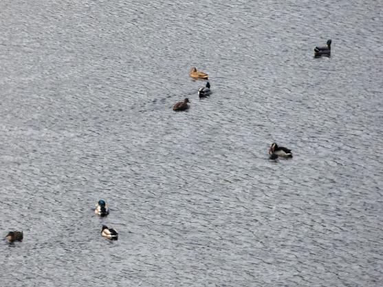 Anades en Calabazos. Censo aves otoño 2016